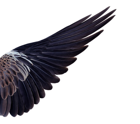 eagle flying: Pinion on the sprawling white