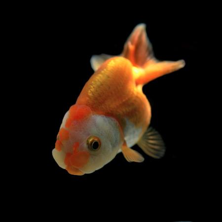 oranda: goldfish on black background