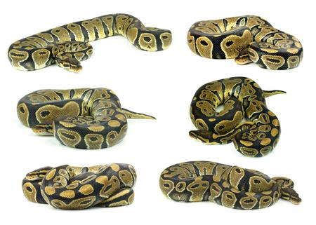 ball python: Royal Python, or Ball Python in studio against a white background.