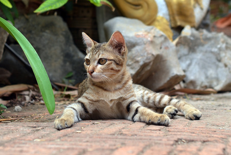 cat Thailand photo