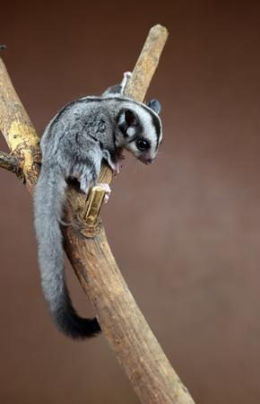 Flying squirrel  Sugarglider
