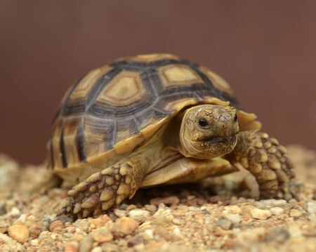 sulcata: african spurred sulcata turtle isolated on a brown background
