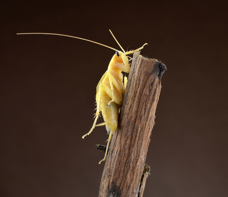 revolting: Cockroach isolated on brown background Stock Photo