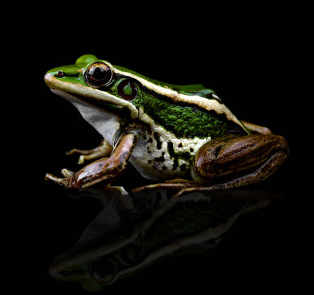 Frog isolated on black background photo