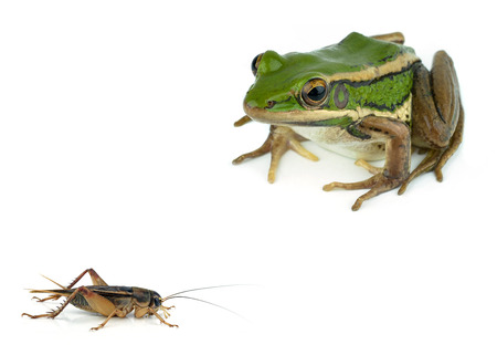 Frog and Gryllidae   isolated on white background photo