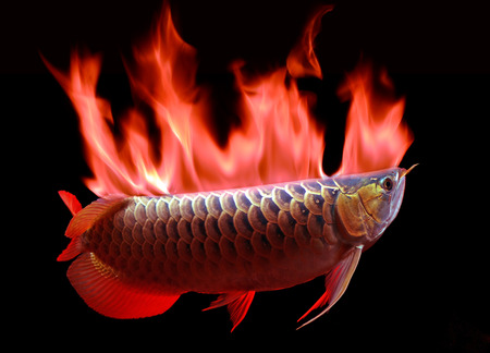 arowana: Fish Asian Arowana fish on black background Stock Photo