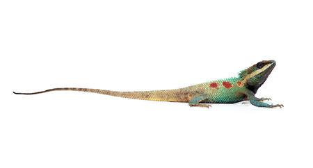 prin: Lagarto azul con los ojos grandes en cerradas encima de los detalles, como el pequeño reptil con detalles agradables en su cuerpo pintado