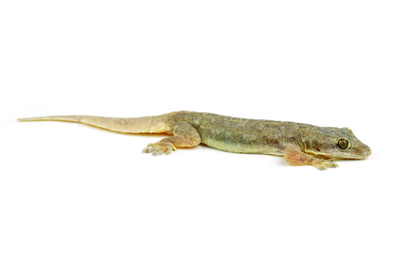 mandatariccio: Gecko
