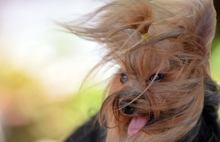 Dog yorkshire terrier wind Stock Photo