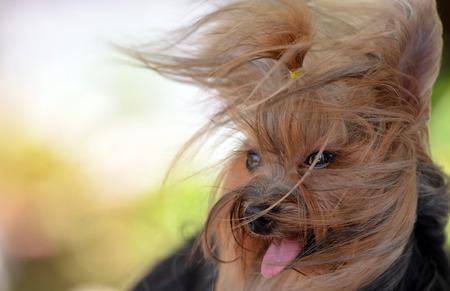 Dog yorkshire terrier wind Reklamní fotografie