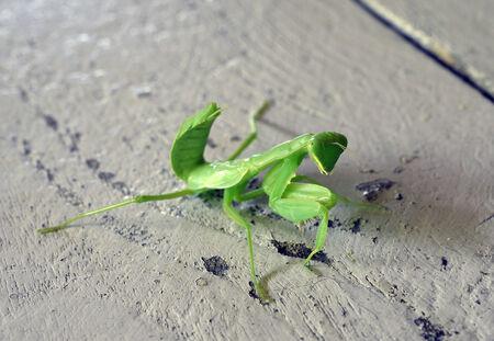 eye catcher: Praying Mantis - Mantis religiosa