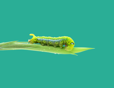 Green butterfly worm is staying  photo