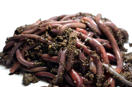 Canadian Nightcrawlers - fishing worms to the ground