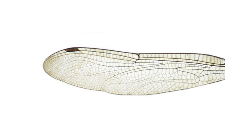 dragonfly wings: dragonfly wings Stock Photo