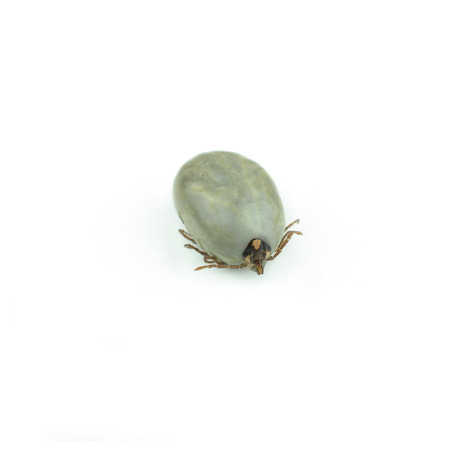 female tick on a white background photo