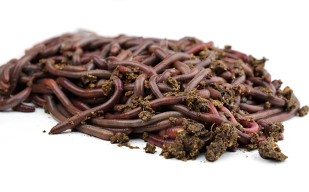 vermiculture: Canadian Nightcrawlers - fishing worms to the ground