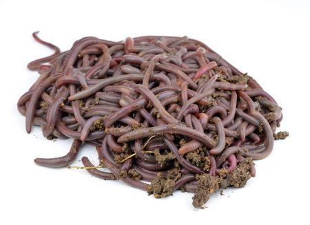 Canadian Nightcrawlers - fishing worms to the ground photo