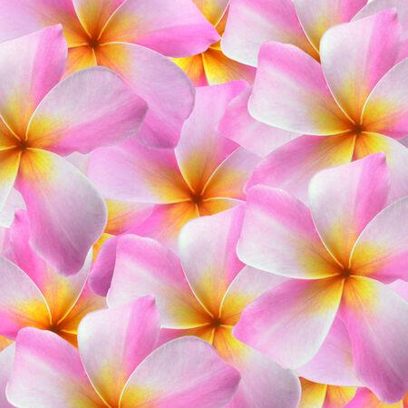 Plumeria pink flowers on white background photo