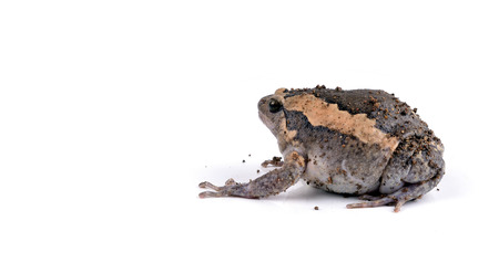 Frog on White photo