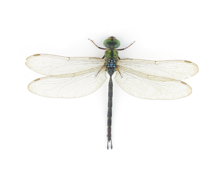 snaketail: Dragonfly isolated on white background