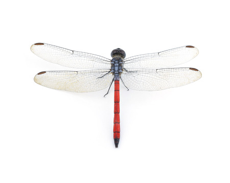 Dragonfly Red isolated on white background Banco de Imagens
