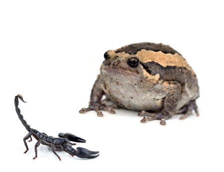 Frog in scorpion on White photo