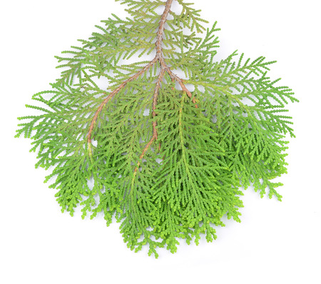 Leaves of pine tree or Oriental Arborvitae , Scientific Name:Thuja Orientalis , on white background photo