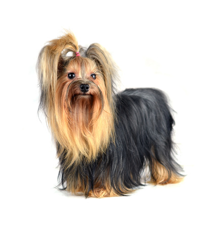 Yorkshire Terrier: Dog yorkshire terrier isolated on white
