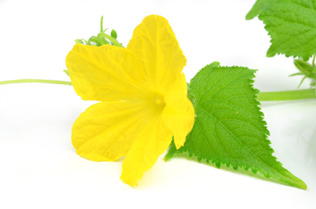 Cucumber flower with green leaf isolated on white background photo