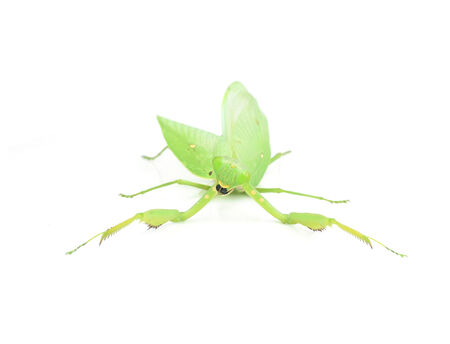 european mantis: Female European Mantis or Mantis religiosa, isolated on white
