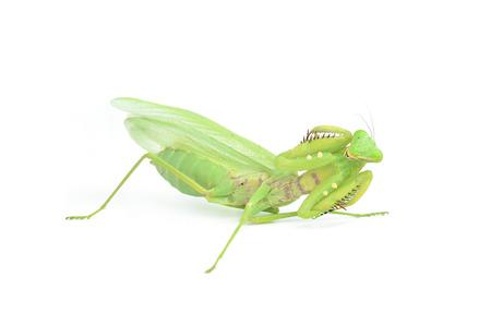 european mantis: Female European Mantis or Mantis religiosa, isolated on white
