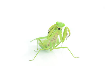 Female European Mantis or Mantis religiosa, isolated on white photo