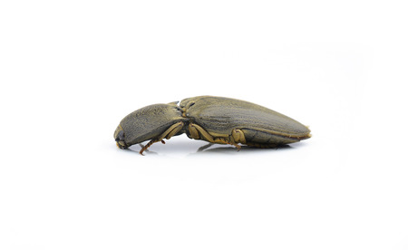 elateridae: Female of Ampedus elegantulus, click-beetle, isolated on a white background