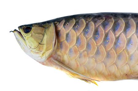 hobbyist: fish Golden Arowana Stock Photo