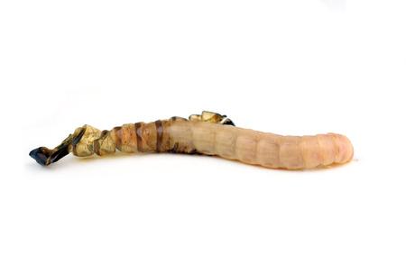 mealworm: Worm isolated on white background Stock Photo