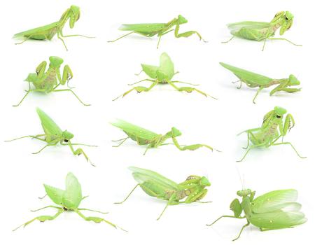 predatory insect: Mantis religiosa