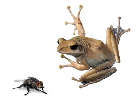 croaking: tree Frog and fly on a white