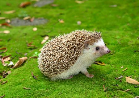 Hedgehog on Moss green grass Standard-Bild