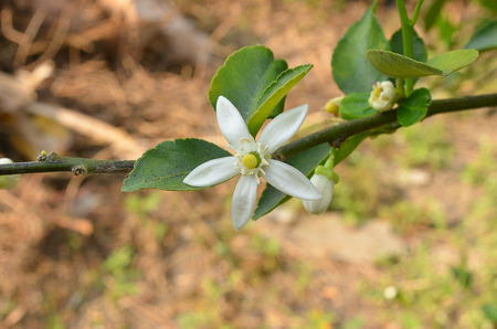 lime blossom: Lime blossom on the tree