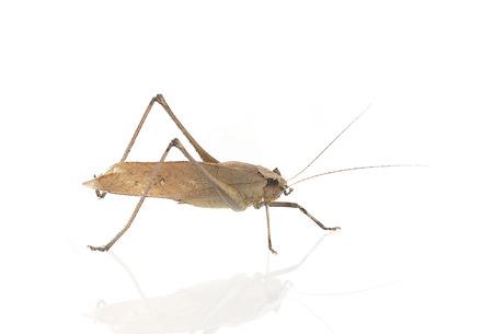 caelifera: Brown Grasshopper isolated on white background Stock Photo