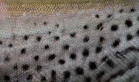 rutilus: fish scale