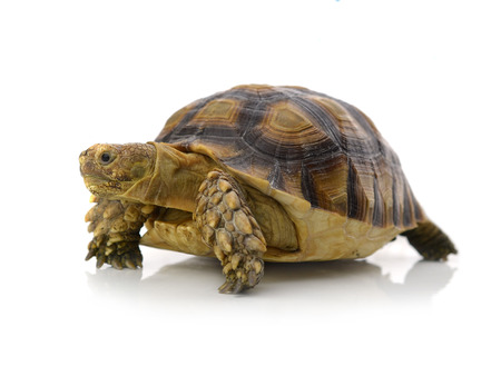 long lasting: Desert tortoise isolated on white background Stock Photo