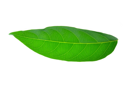 cashew tree: Cashew nut  Leaves