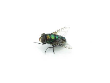 irritate: fly on a white background