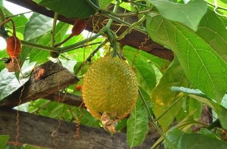 spiny: Baby Jackfruit Spiny Bitter Gourd Stock Photo