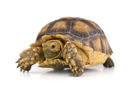 흰 배경에 고립 된 거북