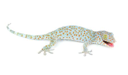 tokay gecko: Tokay Gecko Stock Photo