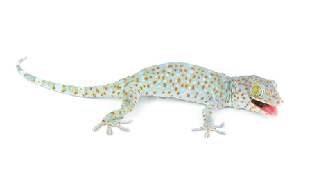 herpetology: Tokay Gecko Stock Photo