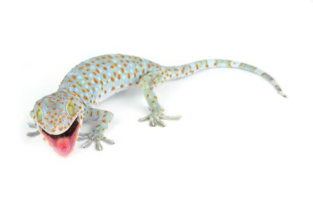 Tokay Gecko Reklamní fotografie