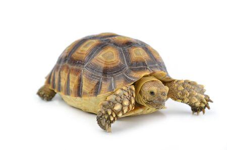 schildkröte: Schildkr?te isoliert auf wei?em Hintergrund